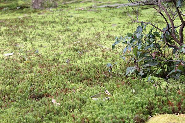 樹木葬地の杉苔