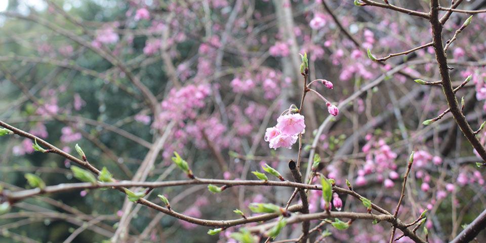 東福寺荘厳院の樹木葬地の枝垂れ桜