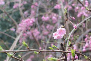 荘厳院の桜