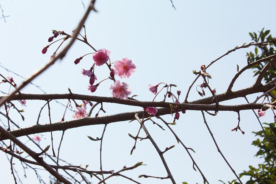 荘厳院の樹木葬地のしだれ桜