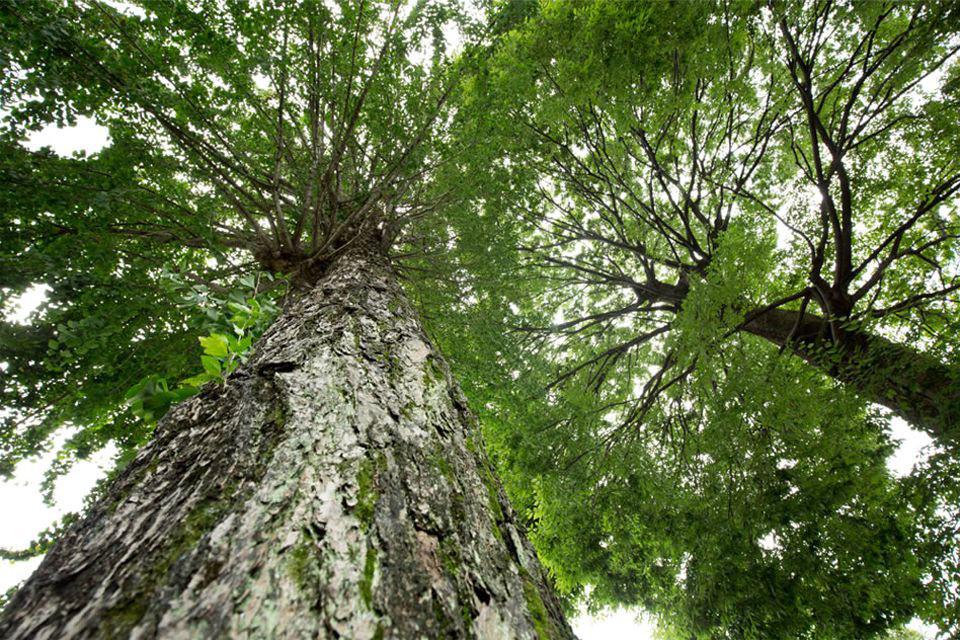 建仁寺塔頭両足院の樹木葬地の大欅