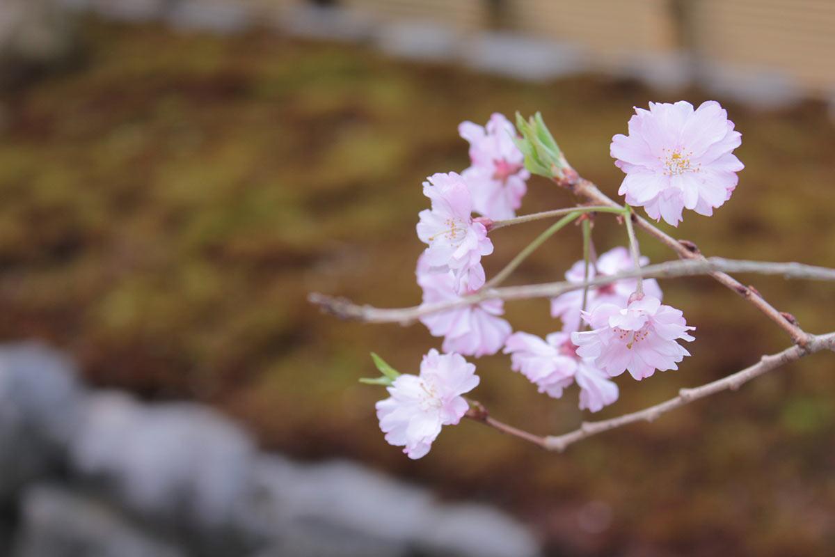 東福寺荘厳院の墓苑の桜