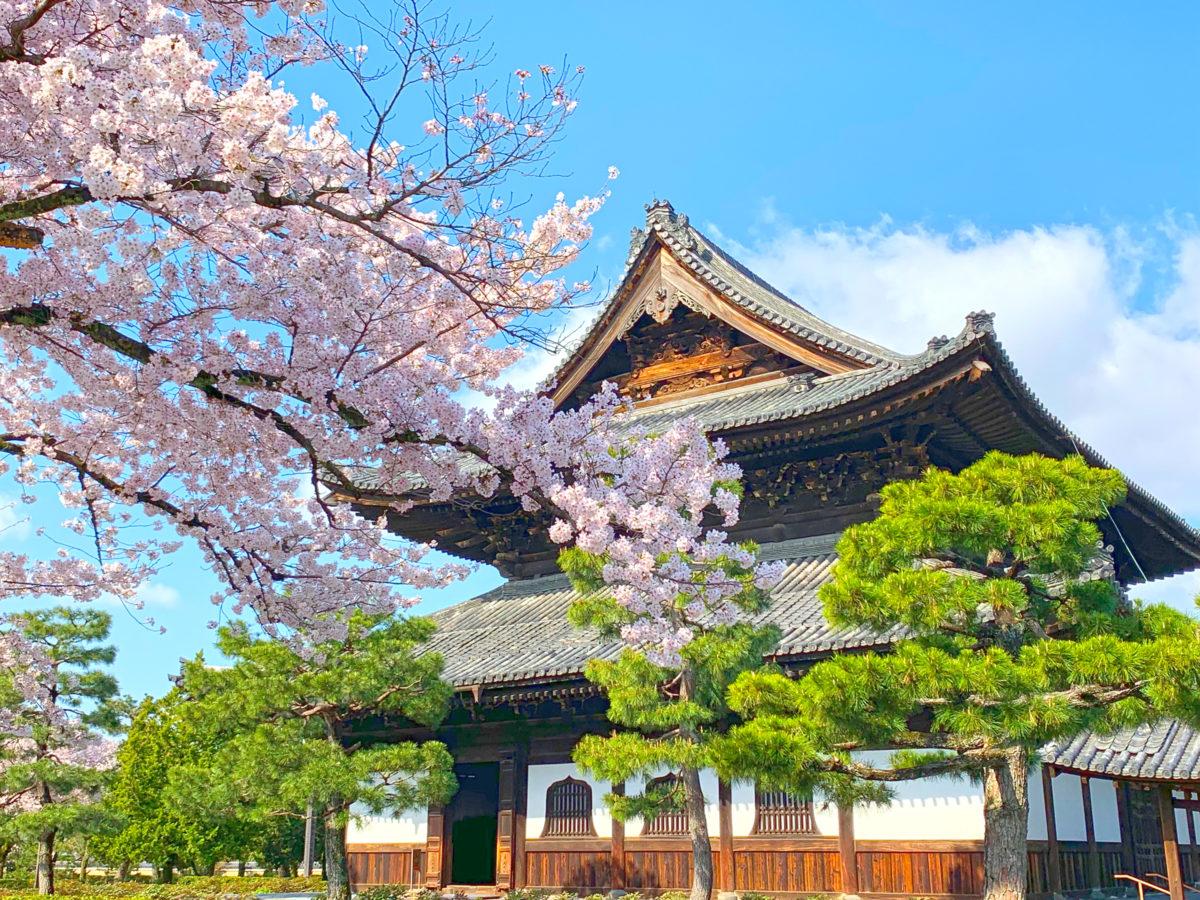 建仁寺法堂と桜