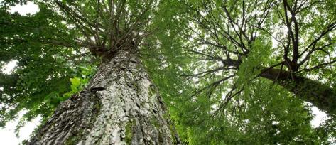 両足院の樹木葬の大欅